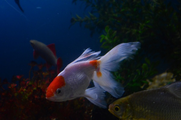 red-cap-goldfish